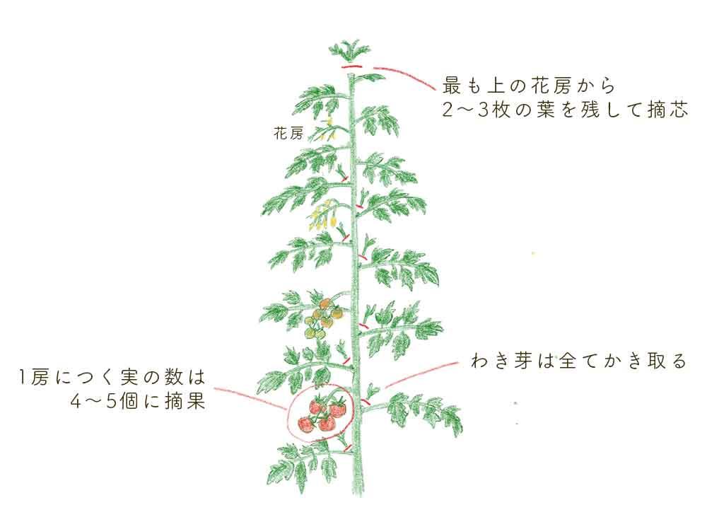 トマトの整枝(わき芽かき・摘芯・摘果)
