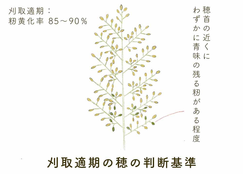 刈取適期の穂の判断基準