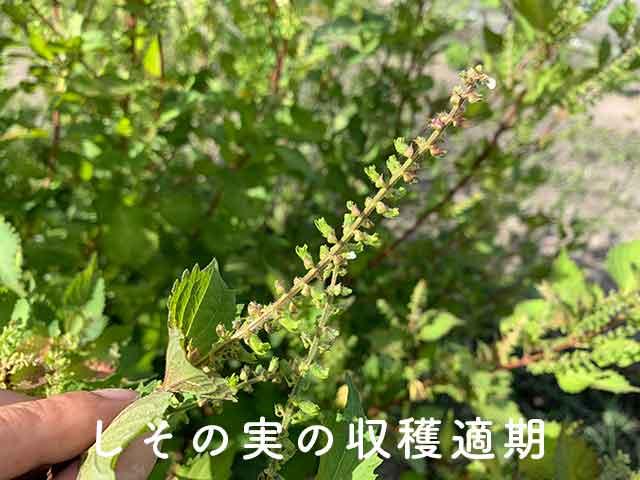 穂ジソ、シソの実の収穫時期