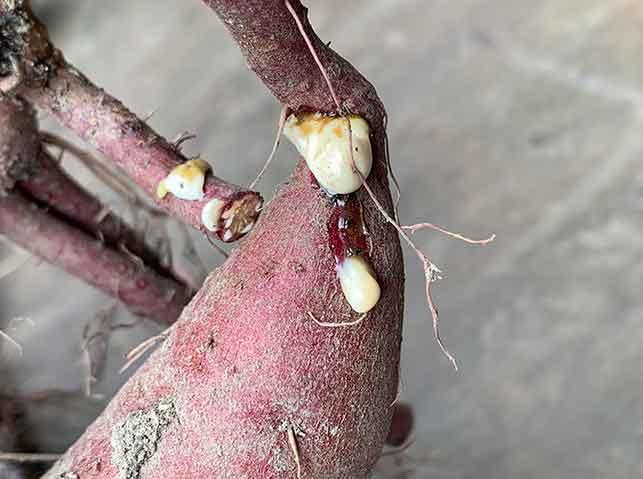 サツマイモの切り口から出る白い液体(ヤラピン)