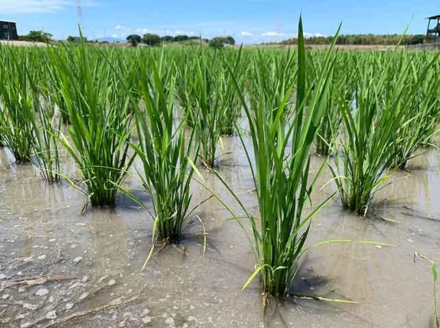 水稲が分げつして茎数が増えている