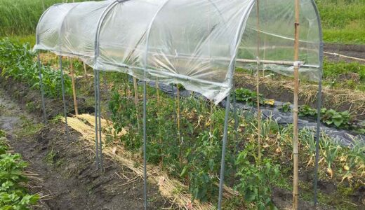 トマトの雨よけハウス(雨除け屋根)で実割れ・疫病を防ぐ