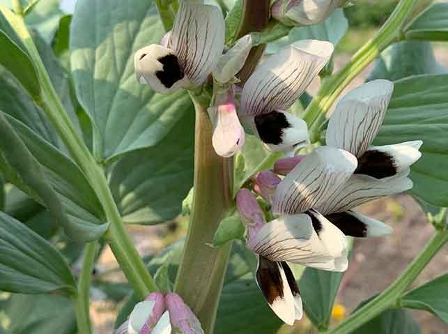 ソラマメの開花