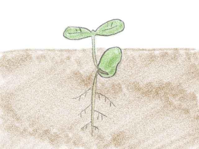 ソラマメの種の発芽