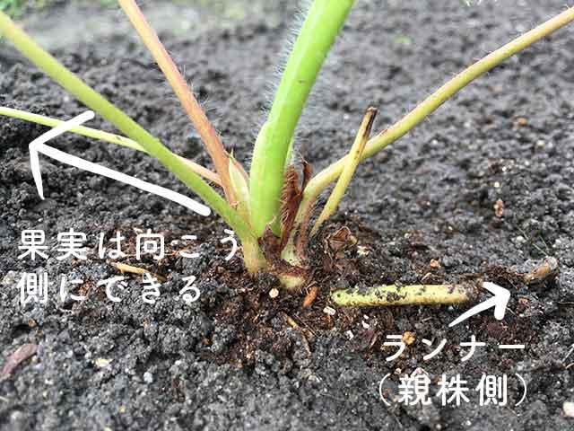 イチゴ苗の植え付け向き(ランナーの反対側に実ができる)