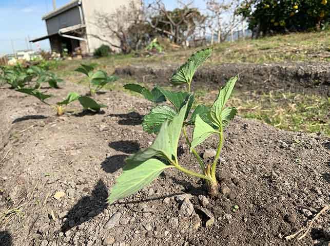 イチゴ苗の植え付け