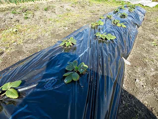 イチゴの畝に黒色マルチング