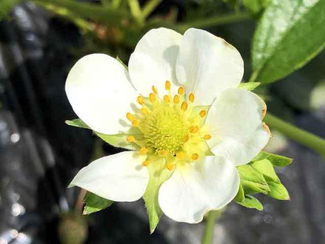 イチゴの花の雄しべ・雌しべ