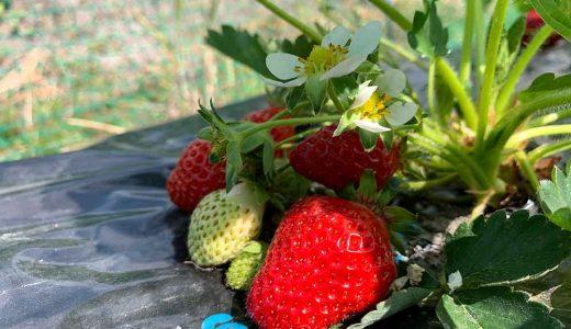 イチゴの栽培方法・育て方のコツ(露地栽培)