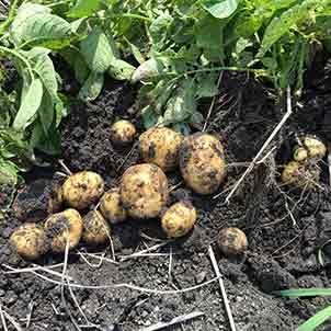 ジャガイモの栽培方法