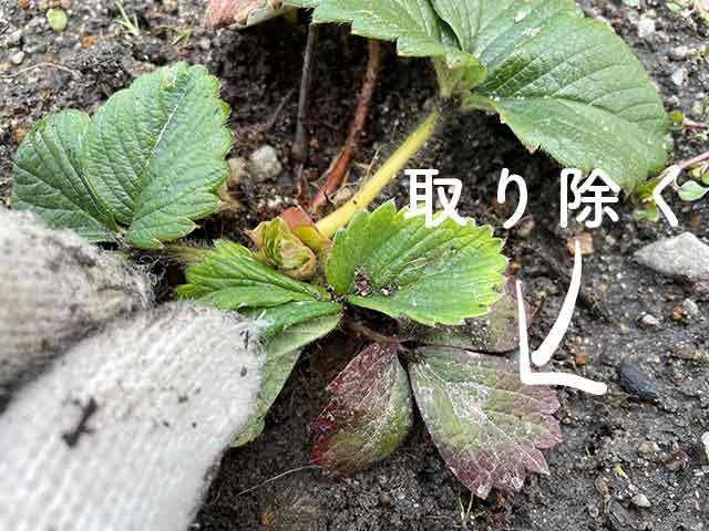 イチゴの枯れた下葉、赤く変色した葉は取り除く