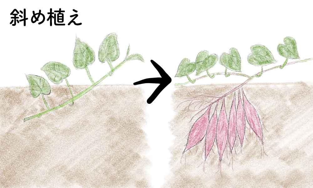 サツマイモの斜め植え