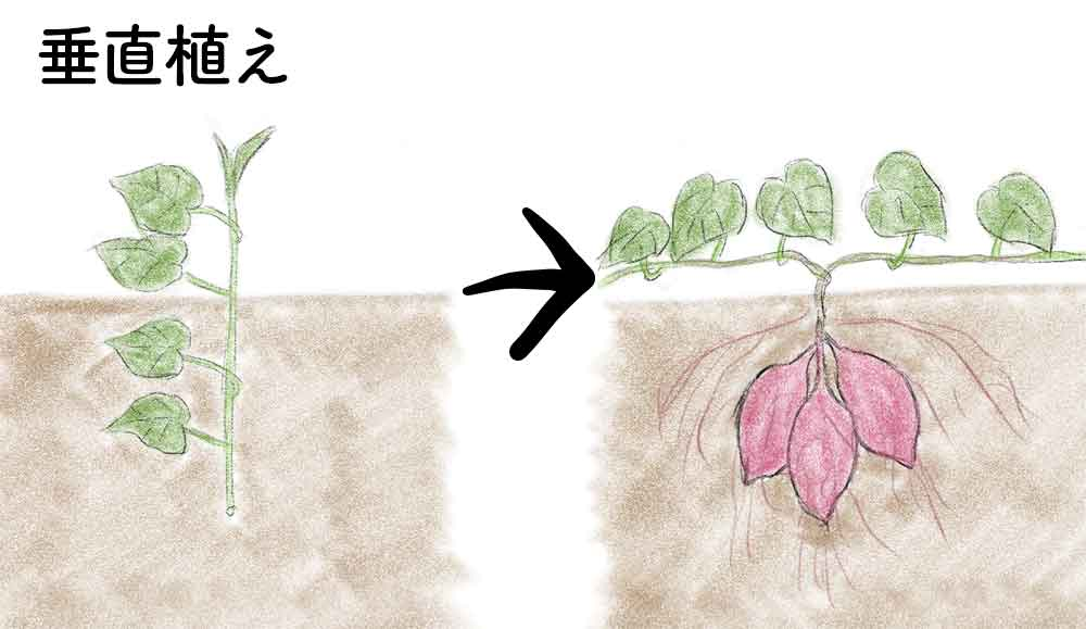 サツマイモの垂直植え