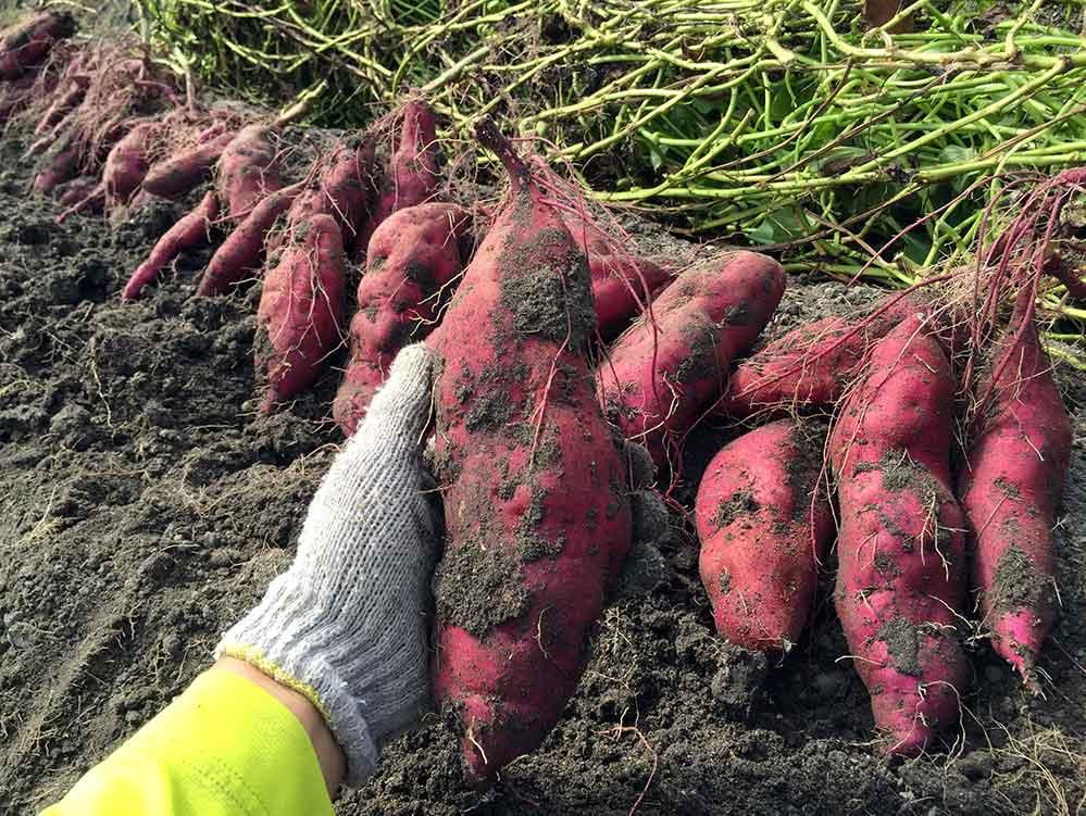【福岡 週末農業】サツマイモのツル植え(初心者でも簡単に植えられます)