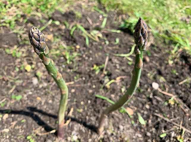 穂先の締まったアスパラガスを収穫