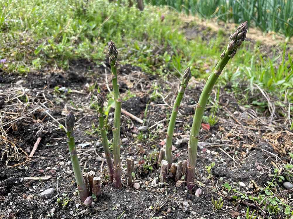 アスパラガスの栽培方法・育て方のコツ