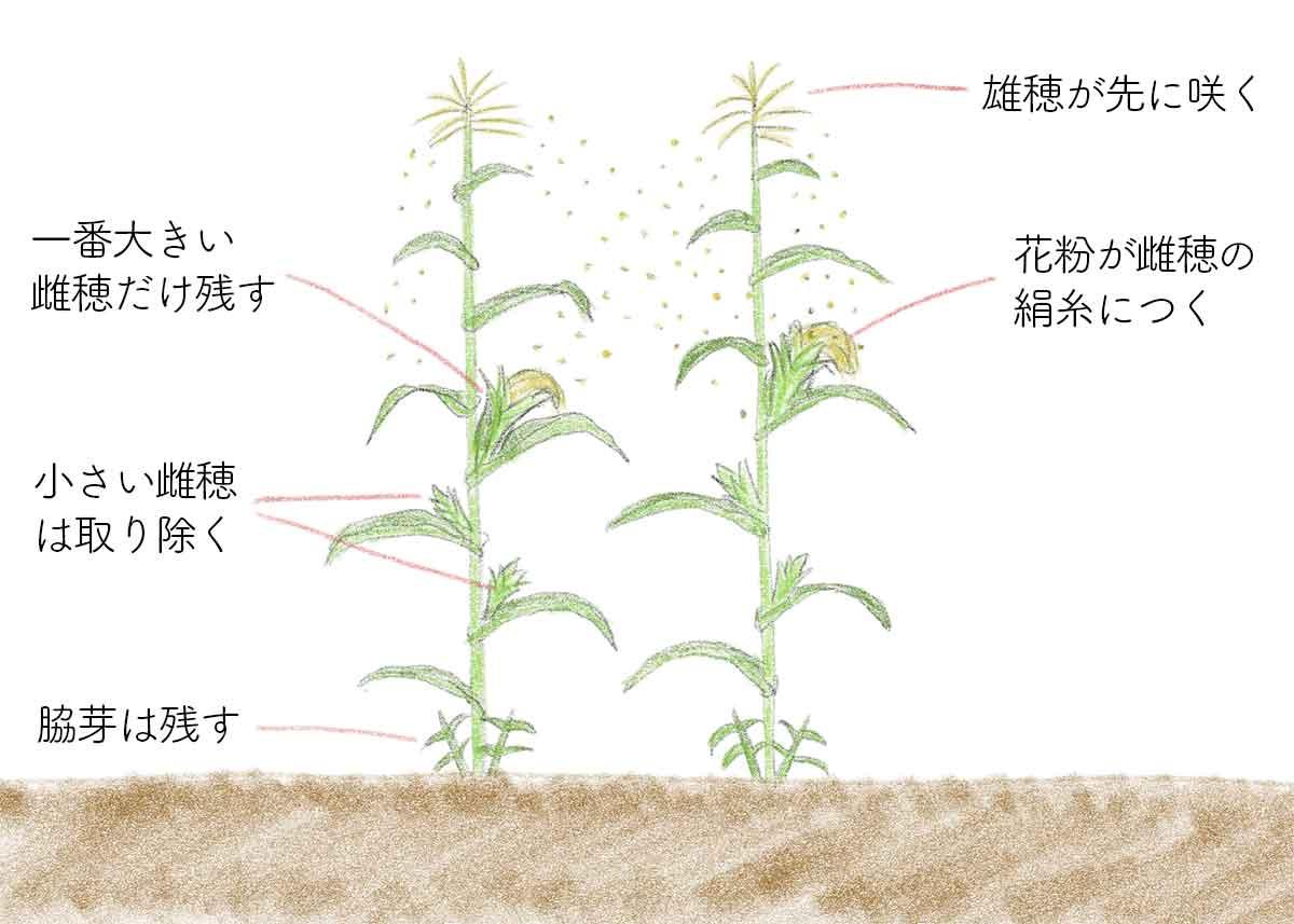 トウモロコシの受粉と摘果