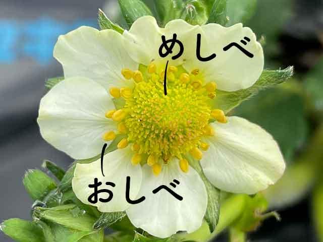 イチゴの花の雄しべと雌しべ