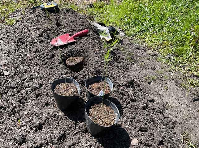 1年育苗したアスパラガスの植え付け