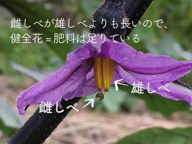 ナスの花の雌しべが出ているので肥料は足りている