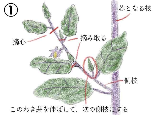 ナスの側枝に花がついたら摘心とわき芽かき