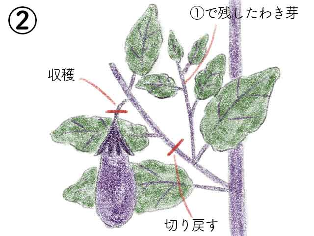 ナスの側枝の実を収穫したら切り戻し