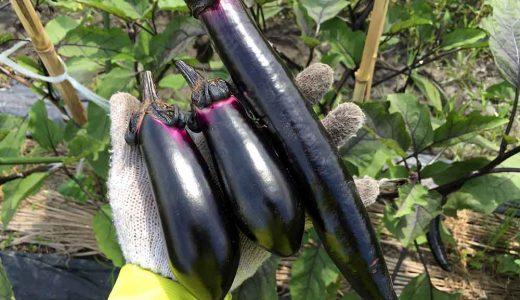 ナス(茄子)の栽培方法・育て方のコツ
