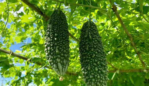 ゴーヤ(ニガウリ)の栽培方法・育て方のコツ