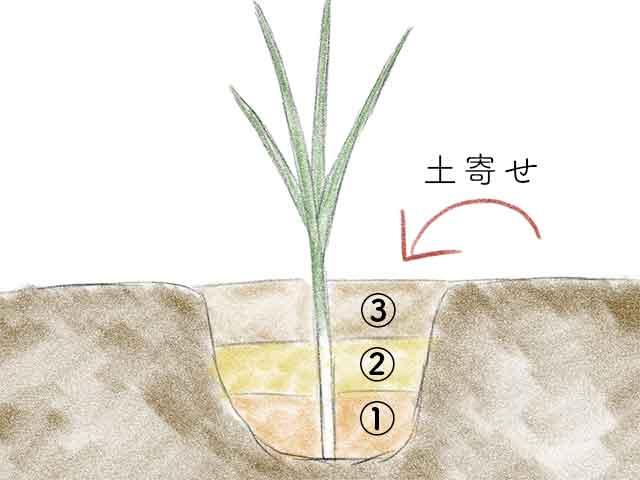 ニラの土寄せは2〜3回に分けて行う