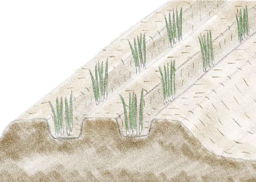ニラ苗の植え付け