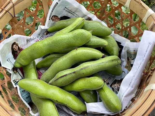 収穫したソラマメ(そら豆)