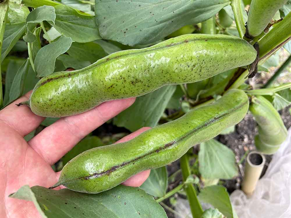 ソラマメ(そら豆)の栽培方法・育て方のコツ