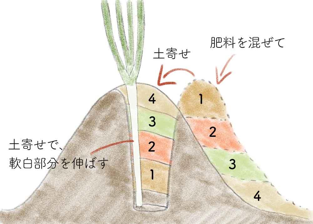 白ネギの土寄せの方法