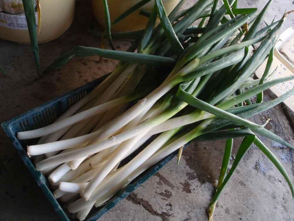 ネギ(白ネギ・長ネギ・根深ネギ)の栽培方法・育て方のコツ
