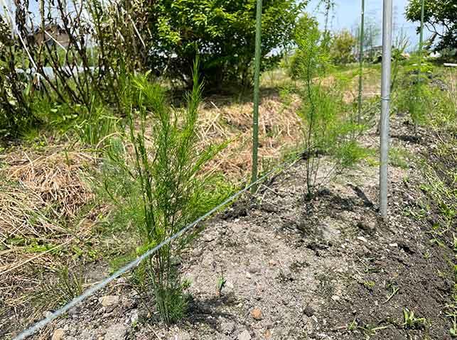 アスパラガス2年目の若茎