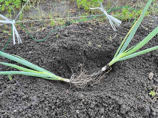 長ネギの根が真ん中にくるように植える