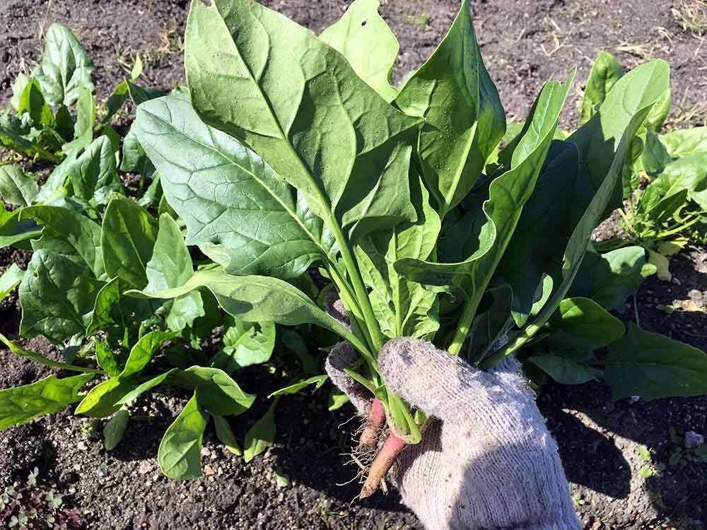 ホウレンソウ(ほうれん草)の栽培方法・育て方のコツ