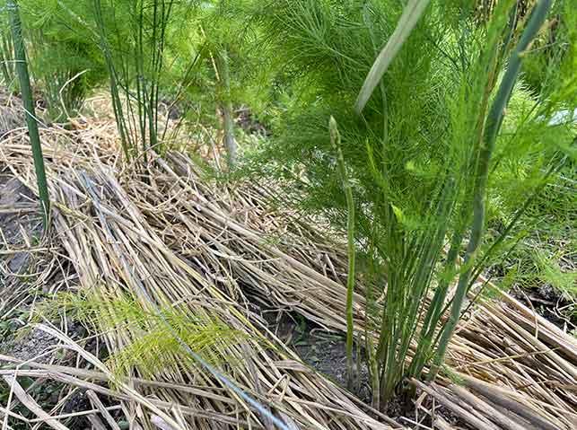 アスパラガスの乾燥防止に敷き藁マルチ