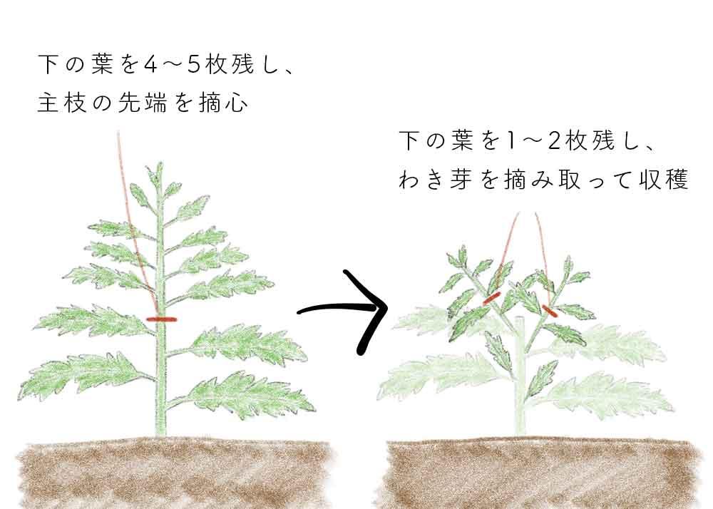 シュンギク(春菊)を摘芯してわき芽を摘み取り収穫