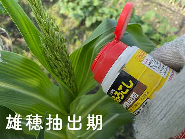 雄穂抽出期のトウモロコシにデナポンを散布