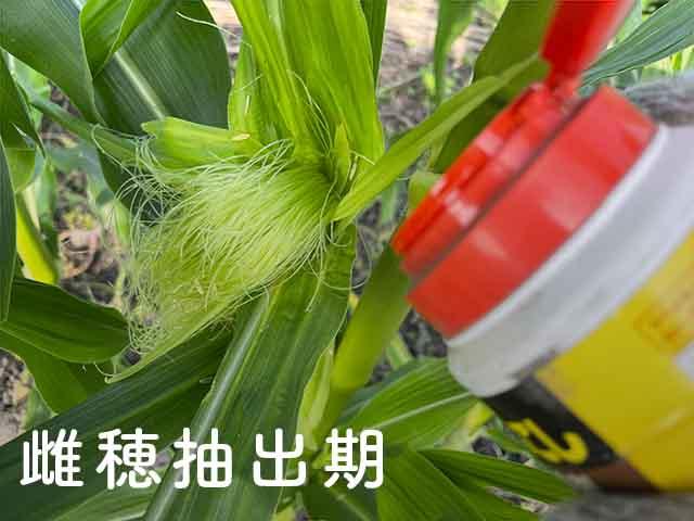 雌穂抽出期のトウモロコシにデナポンを散布