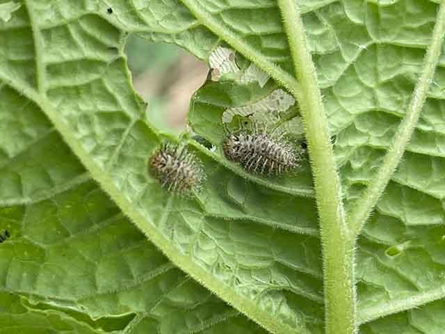 テントウムシダマシ(幼虫)