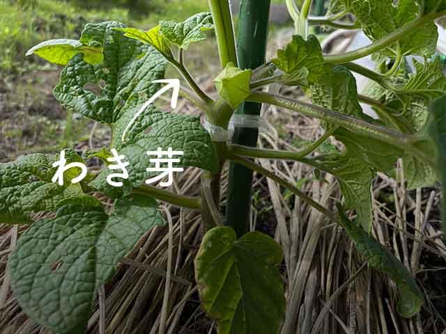 食用ホオズキのわき芽